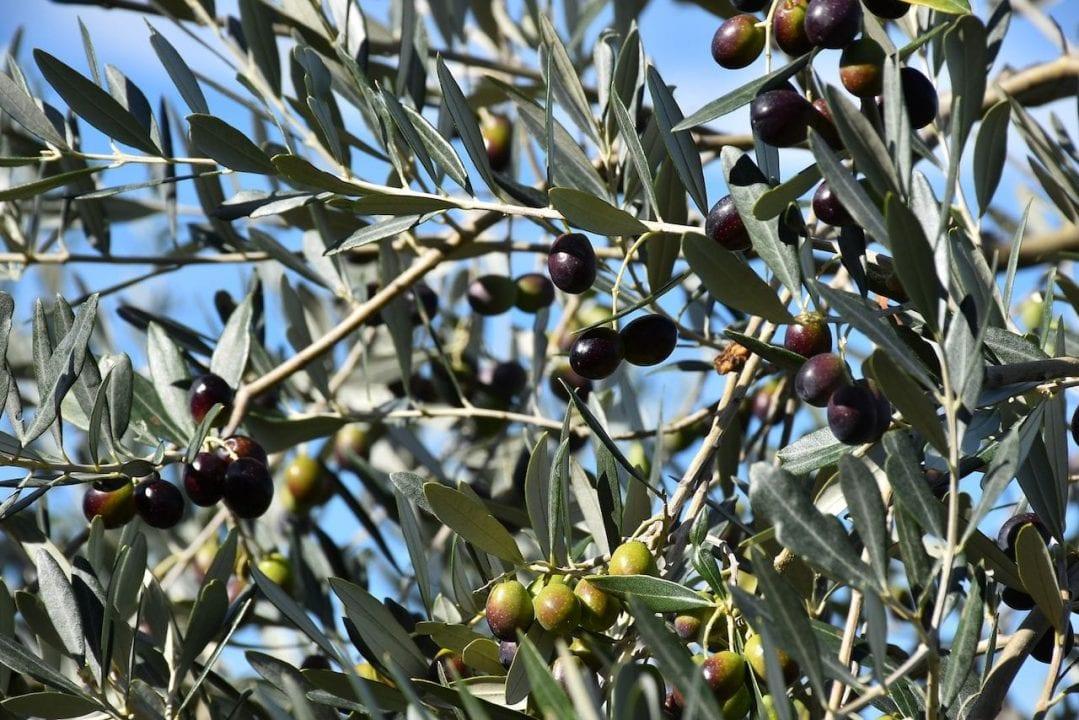 Raccolta delle olive in Umbria