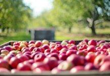 Raccolta della frutta, una delle attività agricole stagionali che maggiormente usufruisce dei voucher